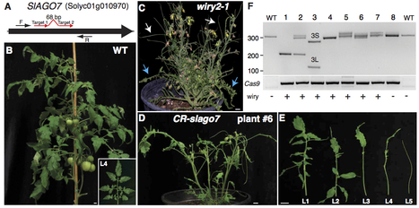 Plant Physiology: Efficient gene editing in tomato in the first generation using the CRISPR/Cas9 system (2014) | Plant Genetics, NGS and Bioinformatics | Scoop.it