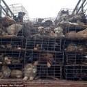 Cientos de perros destinados al consumo humano fueron salvados ... | Activismo en la RED | Scoop.it