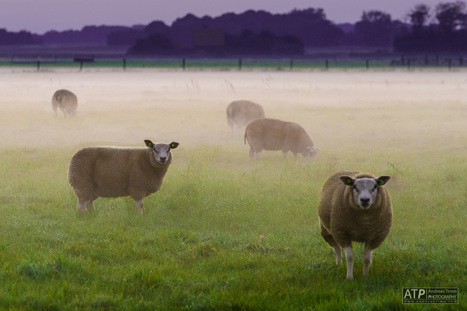 Texel sheep in early morning mist   Enjoy Photography!   Scoop.it