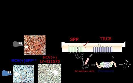 Discovery of new Hepatitis C Virus mechanism - Scienmag | Hepatitis C New Drugs Review | Scoop.it