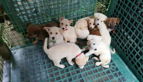 Puppies Saved From Dog Meat Farm Travel Thousands Of Miles To New Homes | Nature Animals humankind | Scoop.it
