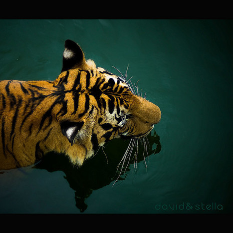 Breathtaking Photography Of Big Cats | Everything Photographic | Scoop.it