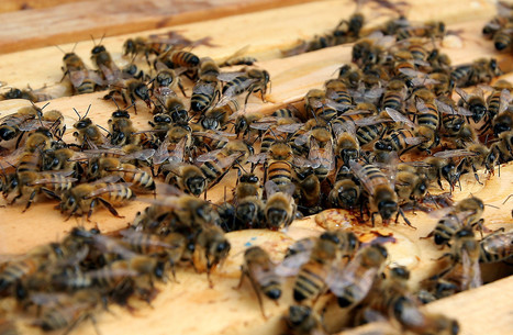 Maryland honeybee losses among highest in US, survey finds - Baltimore Sun (blog) | Gardening planning | Scoop.it