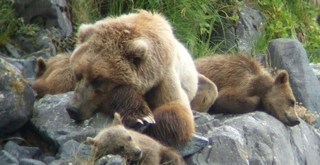 Ultimate Brown Bear Viewing And Photography Experience In Kodiak, Alaska | Afognaklodge | Scoop.it