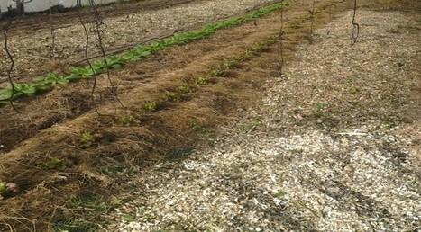 Paillage Et Mulching Au Jardin Bio | Conseils Jardinage Bio | Jardin Potager Biologique | Scoop.it