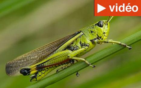 Madagascar : 2.000 hectares de champs rasés par les criquets | Ny Rado Rafalimanana - Madagascar | Scoop.it
