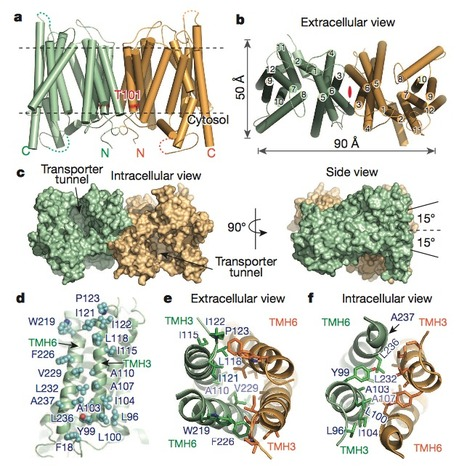 Nitrate-Regulated Auxin Transport by NRT1.1 Defines a Mechanism for Nutrient Sensing in Plants | Interesting Plant Protein & 3D Structures | Scoop.it