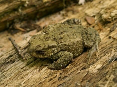 Photo d'Amphibien d'Europe : Crapaud commun - Bufo bufo - Common toad | Fauna Free Pics - Public Domain - Photos gratuites d'animaux | Scoop.it
