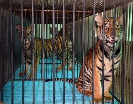 Inside Tiger Farming: A Long Chain of Profiteers   North America, South America, Asia   Scoop.it