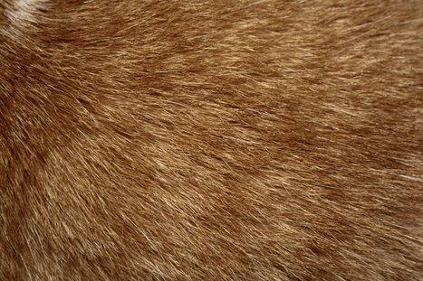 Des pelages de chats pour entrer… en génétique   VeilleÉducative - L'actualité de l'éducation en continu   Scoop.it