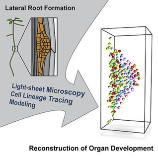 Rules and Self-Organizing Properties of Post-embryonic Plant Organ Cell Division Patterns: Current Biology | Plant-Microbe Interaction | Scoop.it