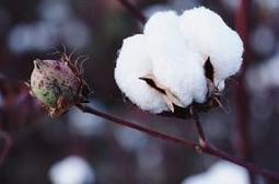 Ancient Egyptian cotton tells of drought : Nature Middle East   Plant Genomics   Scoop.it