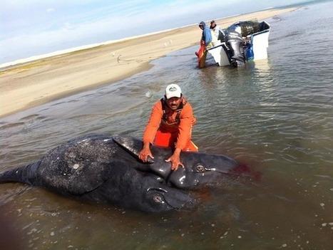 Efecto Fukushima: Científicos descubren ballenatos grises siameses muriendo en costa oeste de México | Web-On! Curiosidades | Scoop.it