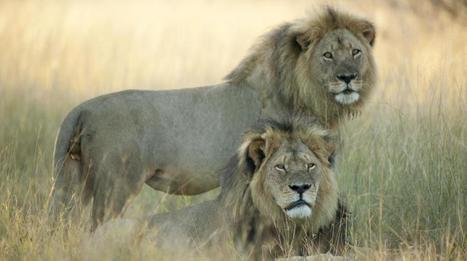 Le frère du lion Cecil, Jericho, tué à son tour par un chasseur, annonce une ONG | SandyPims | Scoop.it