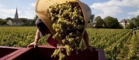 Vendanges 2014 : Bourgogne-Beaujolais, savoir prendre des risques ! | Le vin quotidien | Scoop.it