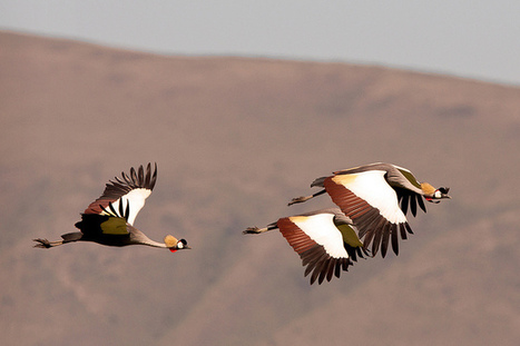 Crowned Cranes by Wild Dogger on Flickr.flying in the Ngorongoro... | Interesting Photos | Scoop.it