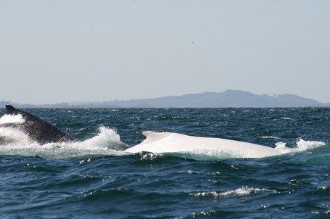 Hast thou seen the #White #Whale? He's off the coast of Australia & Twitter @Migaloo1 | Now is the Time to Help our Oceans & it's Species ! | Scoop.it