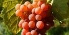 Vin : La vérité sur les productions biologiques | Oenologie | Scoop.it