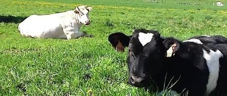 Daily Science   Innovation: un test génétique pour les vaches Holstein développé en quelques semaines à Liège   L'actualité de l'Université de Liège (ULg)   Scoop.it