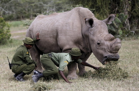 Spy-cam rhinos to take on poachers with devices hidden in their horns | Using Wildlife Survey Data | Scoop.it