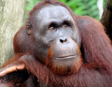 Orangutans Are Now on the Verge of Extinction - Planet Experts | Lorraine's Environmental Change &  Management | Scoop.it