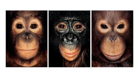 Chimps have feelings and thoughts. They should also have rights   This Gives Me Hope   Scoop.it