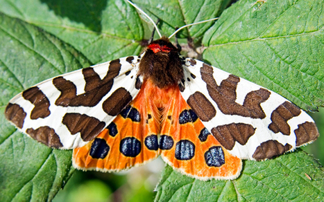ROTHAMSTED MENTION: First butterflies, now moths decline | BIOSCIENCE NEWS | Scoop.it