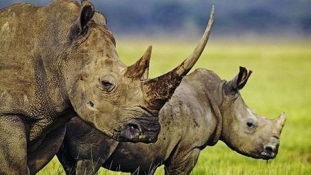 Menacés, 500 rhinocéros seront évacués d'un parc sud-africain | Chronique d'un pays où il ne se passe rien... ou presque ! | Scoop.it