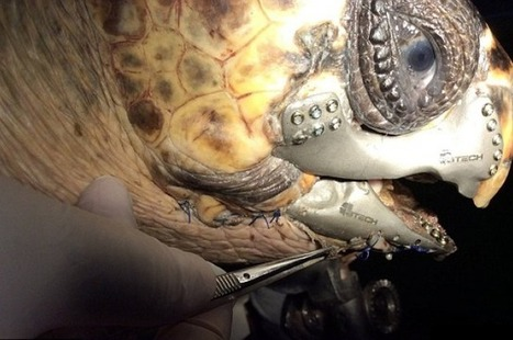 Injured Sea Turtle Gets A 3D-Printed Jaw | 3D Printing and Innovative Technology | Scoop.it