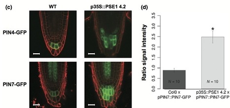 New Phytologist: The Phytophthora parasitica RXLR effector Penetration-Specific Effector 1 favours Arabidopsis thaliana infection by interfering with auxin physiology (2013) | things i found | Scoop.it