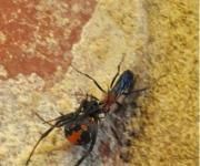 Tiny wasp identified to be a predator of Australia's most common dangerous spider | Amazing Science | Scoop.it