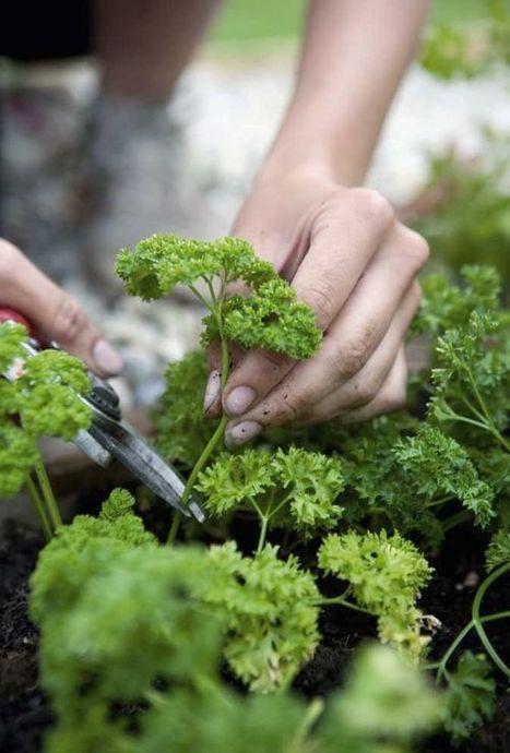 Season to taste: Alan Titchmarsh's tips on growing herbs | Gardens and Gardening | Scoop.it