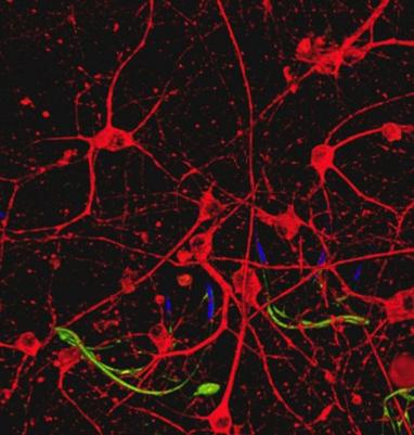 Un pas de plus vers les cyborgs - des scientifiques ont créé des tissus biologiques avec câblage intégré | Les promesses des nanotechnologies | Scoop.it