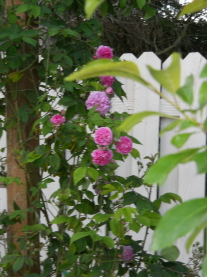 Gaga's Garden   A Rose for Seven Sisters by Sue Tiffany   A Mother's Day Story   Annie Haven   Haven Brand   Scoop.it