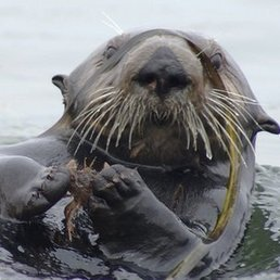 Study: #CrabEating #Otters combat water pollution ~ promoting the #seagrass' growth. | Rescue our Ocean's & it's species from Man's Pollution! | Scoop.it