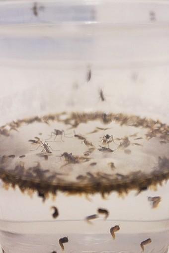Mosquitoes threaten Arizona with new diseases | Arizona Sonora News Service | CALS in the News | Scoop.it