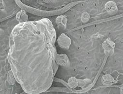 First plant to use buried leaves to catch worms found - life - 09 January 2012 - New Scientist | Plant Cell Biology | Scoop.it