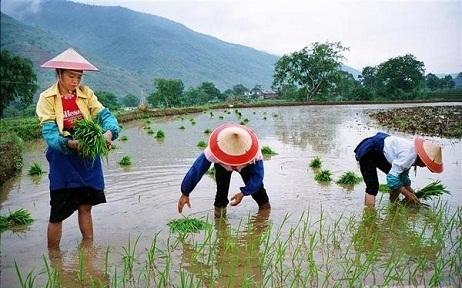 Historia del arroz en China | 吃饭 (chī fàn) | Scoop.it
