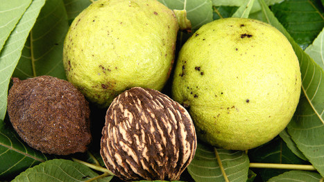 Black walnut: An American Treasure - Arbor Day Blog | Forestry Conservation | Scoop.it