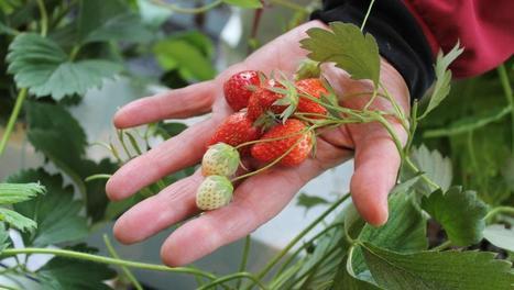 Des fraises bio en plein Paris grâce à l'aquaponie | Nouveaux paradigmes | Scoop.it