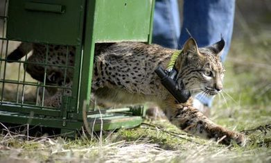 Spain's endangered Iberian lynx brought back from brink of extinction | Language Learning | Scoop.it