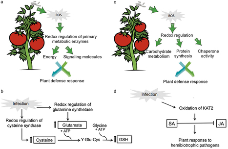 Redox proteomics of tomato in response to Pseudomonas syringae infection | Plant-Microbe Interaction | Scoop.it