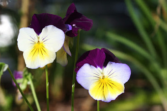 The Rainforest Garden: Fall is for Pansies (and Other Plants Too)   Annie Haven   Haven Brand   Scoop.it