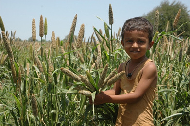 High-iron pearl millet helps fight hidden hunger in rural India - AlertNet | A Better Food System | Scoop.it