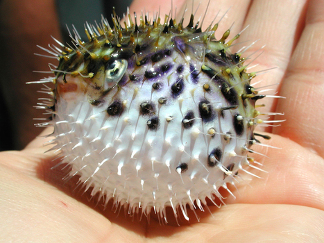 Puffers - The Daily Catch | Soggy Science | Scoop.it