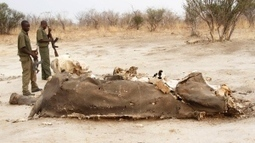 91 elephants poisoned by poachers in Zimbabwe   Rapid Environmental Services   Scoop.it