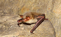 Bats use polarized light to calibrate their internal magnetic compass | Amazing Science | Scoop.it