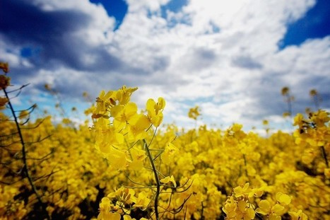Why Scotland will use new EU rule to ban the growing of GM crops - New Scientist (2015) | Ag Biotech News | Scoop.it