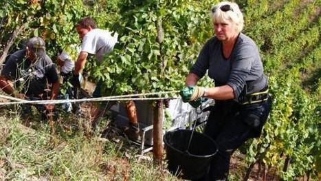 Insolite. En Alsace, les vendanges de l'extrême !   Le vin quotidien   Scoop.it