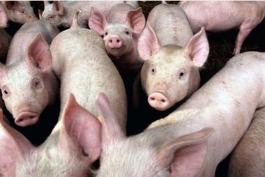 Lincoln scientists lead £2 million study into pigs | ESRC press coverage | Scoop.it